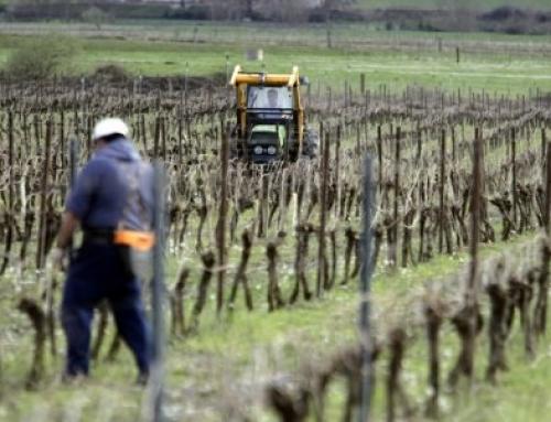 2016 la mayor cosecha en la Pequeña DO Txacoli de Araba solo a falta de la vendimia tardía