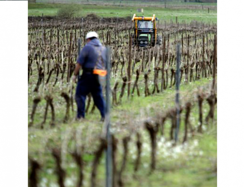Preocupa la situación del viñedo en la DO Txakoli de Alava