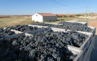 vendimia tierra del vino