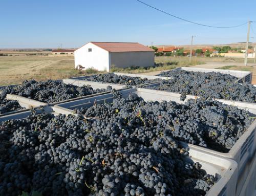 Finaliza la vendimia con menos kilos desde 2007 en la DO Tierra del vino de Zamora