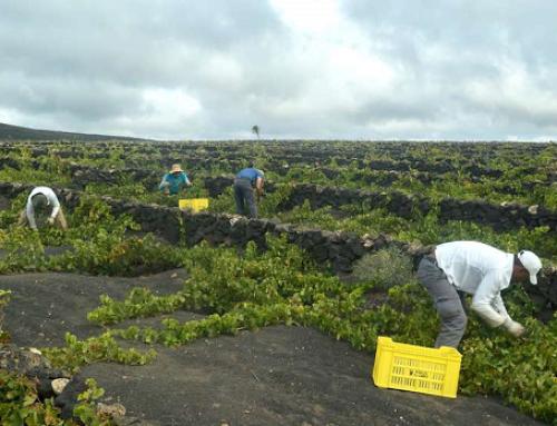 Comienzan las vendimias en las Pequeñas D.O.'s  El Hierro y Lanzarote