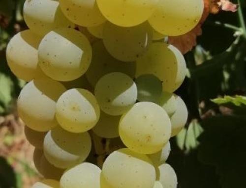 Comienza la vendimia en la Pequeña DO Vinos de Madrid
