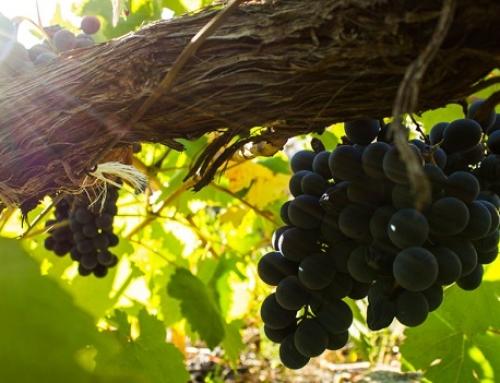 Hoy se inician los controles de maduración de la uva en la Pequeña DO Ribeira Sacra