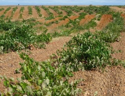 """La DO Tierra de León exige a la Junta """"máximo respeto"""" al viñedo viejo en la concentración parcelaria de Los Oteros"""