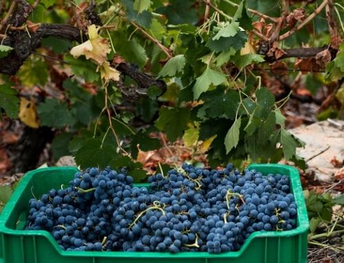 La Ribeira Sacra ya ha recogido más de 2.000.000 de kilos de uva