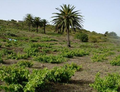 La Pequeña DO La Gomera organiza una ruta para conocer sus vinos