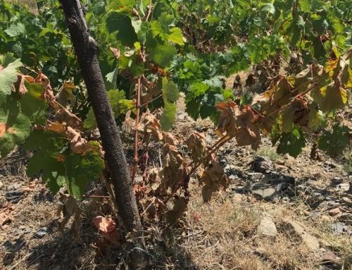 La ola de calor provoca daños considerables a varias viñas de la DOQ Priorat