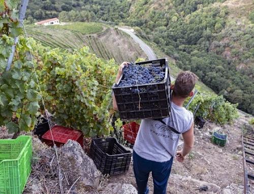 Avanza la vendimia de la Viticultura Heroica en la pequeña DO Ribeira Sacra