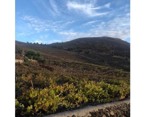 Concluye la vendimia en la Pequeña DO La Palma en la vendimia de su 25º aniversario
