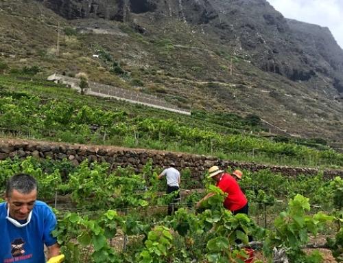 La primera vendimia del hemisferio norte es en Bodegas Viñatigo en la Pequeña DO Islas Canarias
