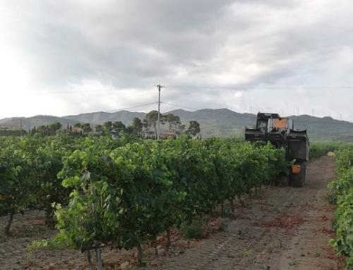 La Pequeña DO Tarragona avanza con una vendimia incierta debido al mildiu