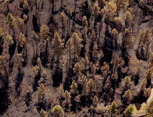 En la Pequeña DO La Palma el viñedo ayudó a apagar el fuego