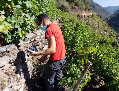 La Pequeña DO Ribeira Sacra, ya lleva casi 3,5 millones de kilos vendimiados