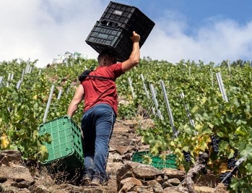 La Pequeña DO Ribeira Sacra cierra la vendimia con algo más de 5,2 millones de kilos