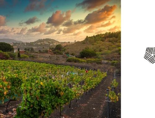 Concluye en la Pequeña DO Gran Canaria, una de las vendimias más largas de España