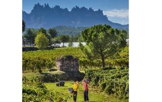 Verema a les vinyes de Fargas-Fargas. Octubre de 2015.