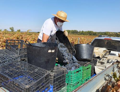 La Pequeña DO Tierra de Zamora finaliza su vendimia con más de 700.00 kgs de uva recogida