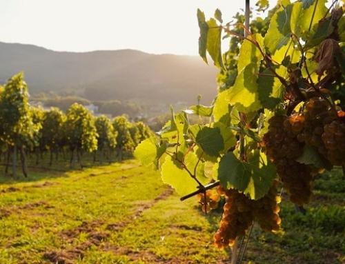 La vendimia en la Pequeña DO Txakoli de Bizkaia nos deja menos uva de la esperada, pero de una excelente calidad