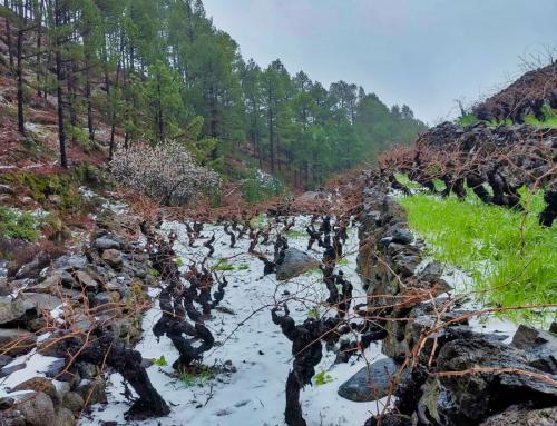 La nieve cubre de blanco el viñedo de la Pequeña DO La Palma y ayuda a paliar la sequía de los últimos años