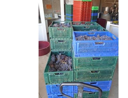 Comienza la vendimia en la Pequeña DO Lanzarote