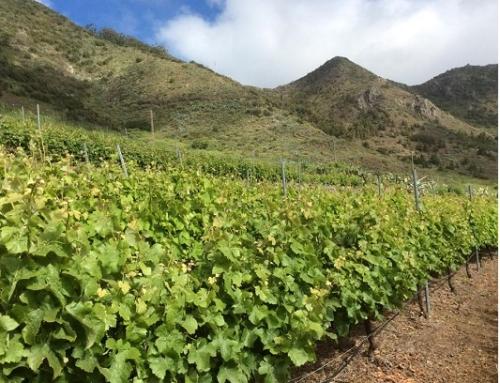 La Pequeña DO Islas Canarias pone en valor la riqueza vinícola de las islas en su nuevo pliego de condiciones