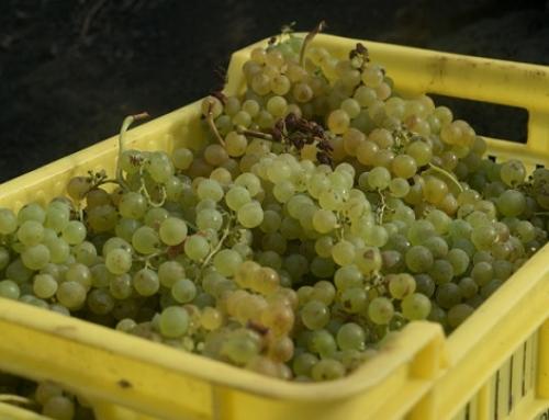 La vendimia en la Pequeña DO Lanzarote, supera ya los 2 millones de kilos