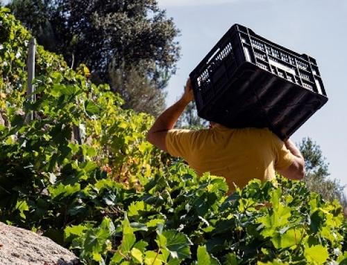 Casi medio millón de kilos se han recogido ya en la Pequeña DO Ribeira Sacra